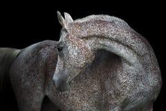 Cavallo arabo grigio di Rosa sui precedenti scuri Fotografie Stock Libere da Diritti