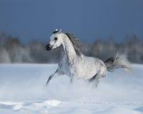 Cavallo arabo grigio galoppante sul campo di neve Fotografie Stock Libere da Diritti