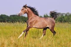 Cavallo arabo grigio libero nel campo di estate Fotografia Stock