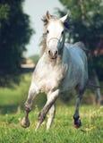 Cavallo arabo grigio nel movimento Immagini Stock Libere da Diritti