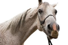 Cavallo arabo isolato su bianco Fotografie Stock