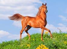 Cavallo arabo libero Immagine Stock Libera da Diritti