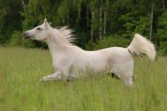 Cavallo arabo libero di bianco nel campo di estate Immagini Stock Libere da Diritti
