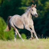 Cavallo arabo nel campo Immagini Stock
