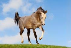 Cavallo arabo nel campo Fotografia Stock Libera da Diritti