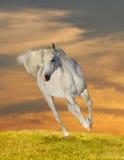 Cavallo arabo nel tramonto Fotografia Stock Libera da Diritti