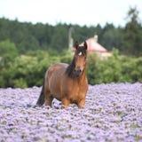 Cavallo arabo piacevole che sta nel campo del fiddleneck Immagine Stock Libera da Diritti