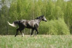 Cavallo arabo sul campo Fotografia Stock