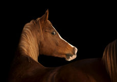 Cavallo arabo sul nero Fotografie Stock Libere da Diritti