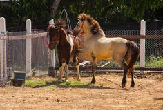 Cavallo arrabbiato Immagini Stock Libere da Diritti