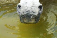 Cavallo bevente Fotografie Stock Libere da Diritti