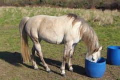 Cavallo bevente in un campo Fotografia Stock
