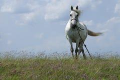 Cavallo bianco Immagine Stock