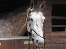 Cavallo bianco Fotografie Stock Libere da Diritti