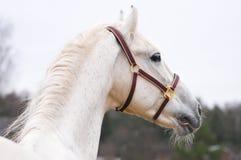 Cavallo bianco Fotografie Stock