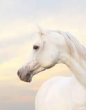 Cavallo bianco Immagini Stock Libere da Diritti
