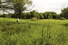 Cavallo bianco Fotografia Stock Libera da Diritti