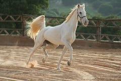 Cavallo bianco Immagini Stock