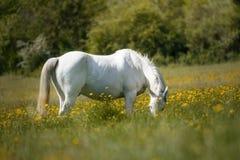 Cavallo bianco affamato che mangia in un campo in pieno dei fiori gialli immagini stock