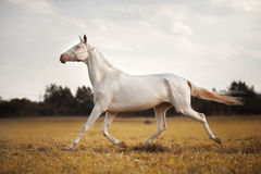 Cavallo bianco Akhal-Teke fotografie stock