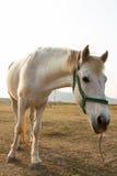 Cavallo bianco in azienda agricola Fotografia Stock Libera da Diritti