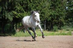Cavallo bianco che galoppa al campo ed a sorridere Immagini Stock