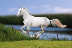 Cavallo bianco che galoppa nel prato di sera Fotografia Stock