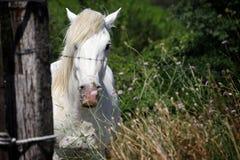 Cavallo bianco che guarda fisso Immagini Stock Libere da Diritti
