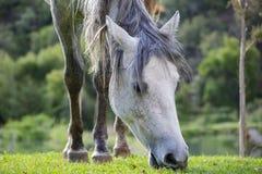 Cavallo bianco che mangia erba fotografia stock libera da diritti