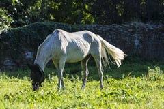 Cavallo bianco che mangia erba in un prato immagine stock libera da diritti