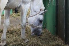 Cavallo bianco che mangia fieno in granaio Immagine Stock
