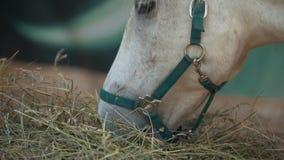 Cavallo bianco che mangia fieno nella stalla video d archivio