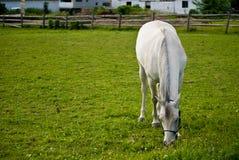 Cavallo bianco che pasce nel campo fotografie stock libere da diritti