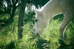 Cavallo bianco che pasce nel freddo Fotografia Stock Libera da Diritti