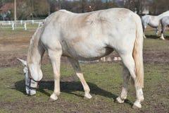 Cavallo bianco che pasce nel recinto per bestiame in repubblica Ceca Immagine dettagliata del cavallo bianco fuori sui pascoli Fotografia Stock