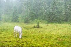 Cavallo bianco che pasce su un campo verde immagine stock libera da diritti