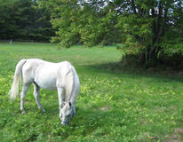 Cavallo bianco che pasce vicino all'albero Immagine Stock Libera da Diritti