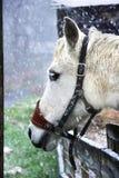 Cavallo bianco che si leva in piedi nella neve Fotografie Stock Libere da Diritti
