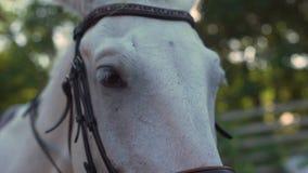 Cavallo bianco con la banda bianca Il cavaliere mette sopra le redini su  archivi video