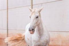 Cavallo bianco con la coda marrone su fondo bianco Immagine Stock