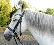 Cavallo bianco con le briglie Fotografia Stock