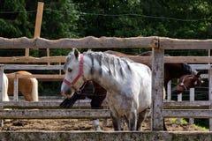 Cavallo bianco con le trecce nella stalla fotografia stock