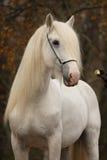 Cavallo bianco del punzone in autunno fotografie stock libere da diritti
