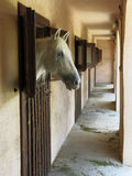 Cavallo bianco del ritratto Fotografia Stock Libera da Diritti
