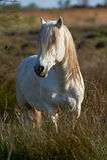 Cavallo bianco di Camargue fotografia stock libera da diritti