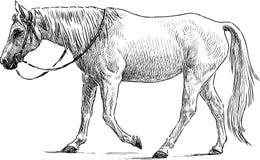 Cavallo bianco di camminata Fotografia Stock
