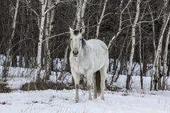 Cavallo bianco di inverno Fotografie Stock