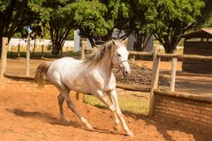 Cavallo bianco di razza arabo Immagine Stock Libera da Diritti