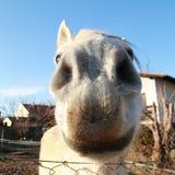 Cavallo bianco divertente Fotografia Stock Libera da Diritti