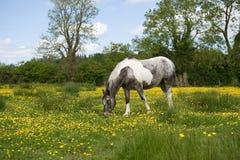 Cavallo bianco e grigio in un medow con i ranuncoli Fotografie Stock Libere da Diritti